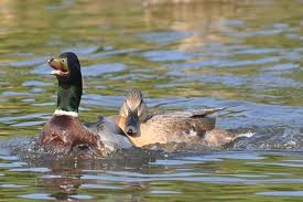 Mating Behaviors of Mallard Ducks